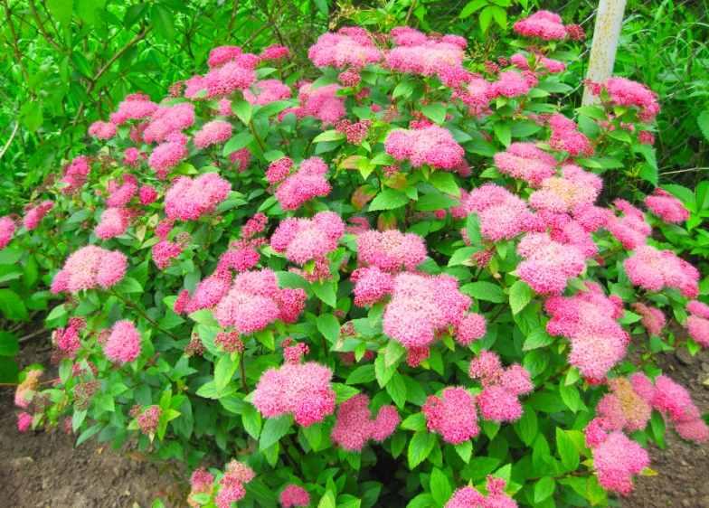 Спирея Густоцветковая (Spiraea densiflora) Красивоцветущие растения, декоративный кустарник