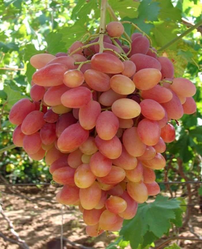 Виноград 'Преображение'