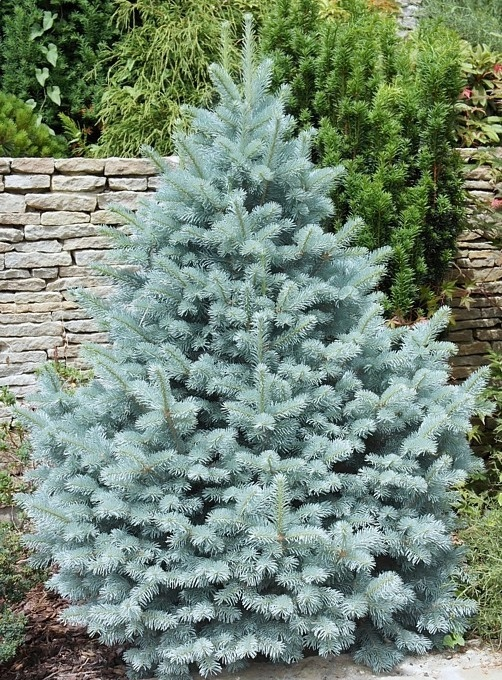 Ель колючая голубая 'Маджестик Блю' голубая хвоя, голубая ель, для городского озеленения
