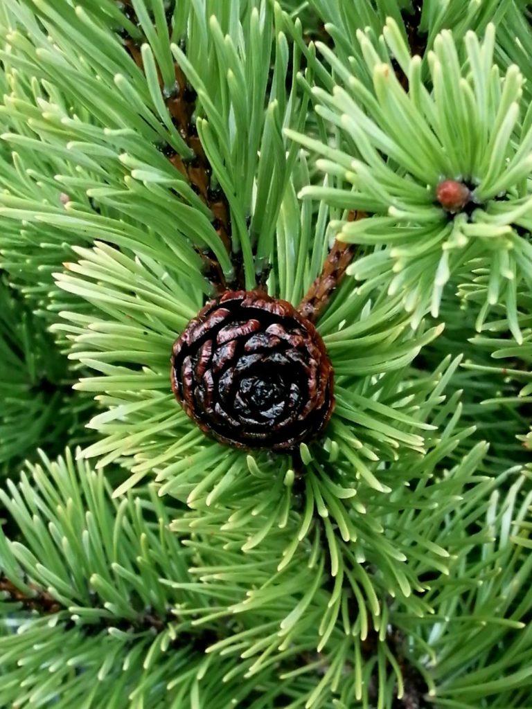 Сосна горная ф. Пумилио (Pinus mugo var. Pumilio)