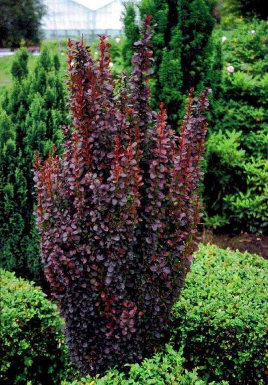 Барбарис Тунберга 'Хелмонд Пиллар' живая изгородь, барбарис крастнолистный, барбарис, для городского озеленения