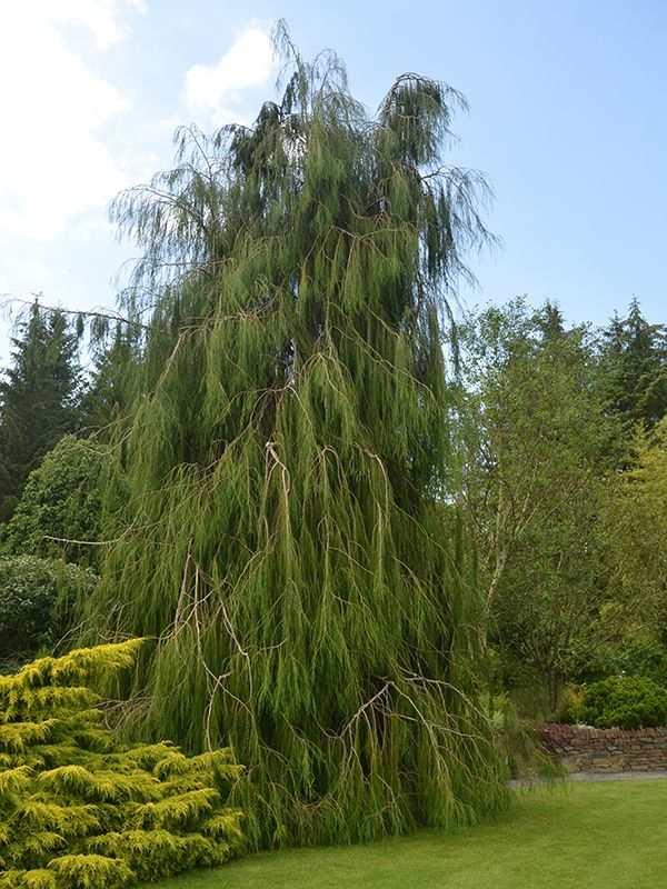Кипарисовик Лавсона 'Имбриката Пендула' ниспадающая крона, декоративное дерево, хвоя зеленая, кипарисовик