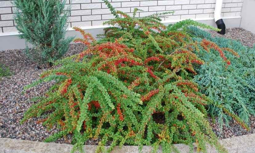 Кизильник горизонтальный декоративный кустарник, быстрорастущие растения, кизильник, почвопокровное растение
