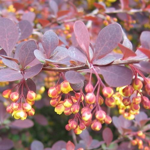 Барбарис оттавский Суперба (Superba) быстрорастущие растения, барбарис крастнолистный, барбарис