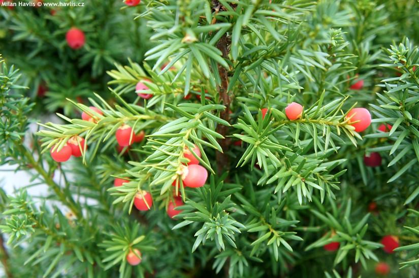 Тис средний 'Хикси' тис средний, быстрорастущие растения, хвоя зеленая