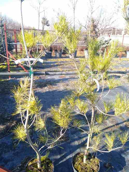 Сосна Окулус Драконис (Pinus densiflora Oculus-draconis)