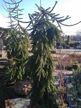 Ель Фробург (Picea abies Frohburg) ель, ниспадающая крона, хвоя зеленая