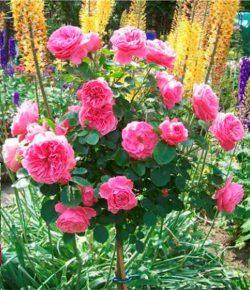 Роза штамбовая Вильям Шекспир (William Sheakespeare)