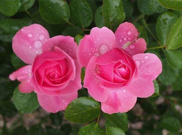 Роза Леонардо да Винчи (Leonardo da Vinci) розовая роза, для срезки, нетребовательны