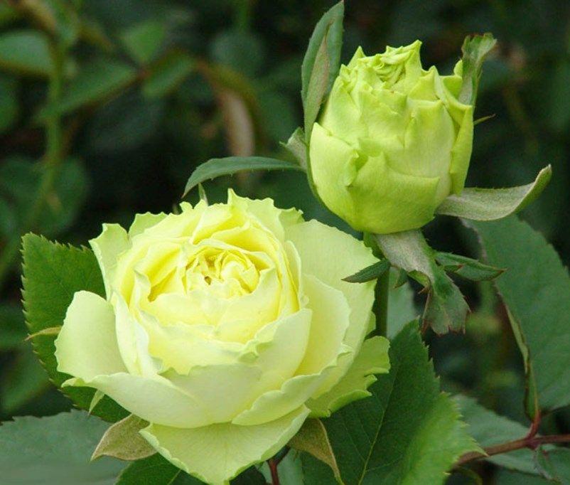 Роза штамбовая Лимбо (Limbo)