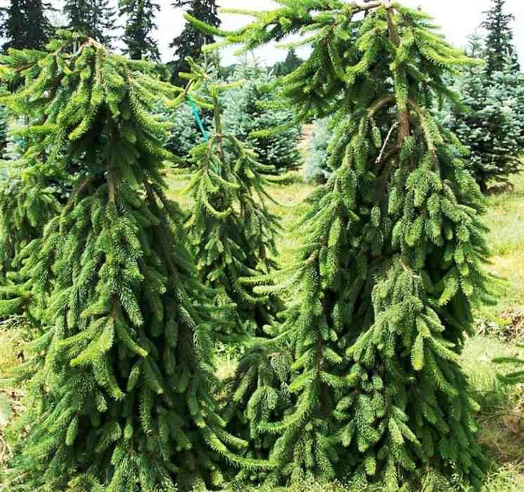 Ель сербская Пендула (Picea omorica Pendula) ниспадающая крона, ель Пендула