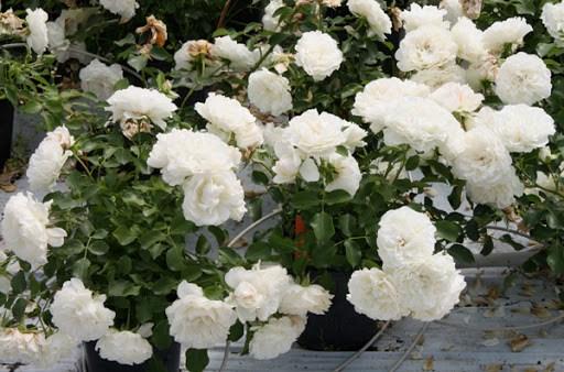Роза Альба Мейяндекор (Alba Meillandecor) почвопокровные розы, белые розы