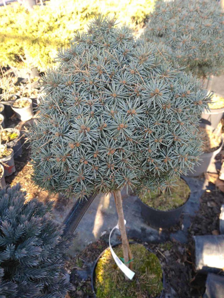 Ель колючая Пали (Picea pungens Pali)