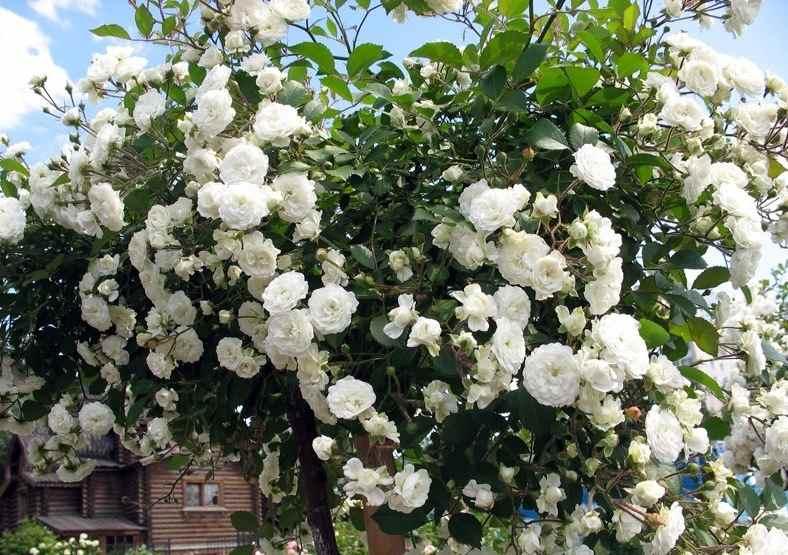 Роза штамбовая Альба Мейлондекор (Alba Meillandecor) привито на штамбе, белые розы