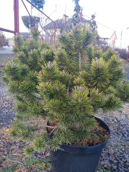 Сосна горная (Pinus mugo Glowmound) хвоя зеленая, сосна горная