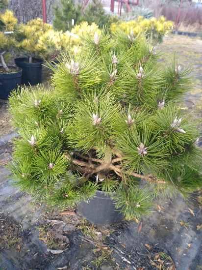 Сосна черная Хельга (Pinus nigra Helga) Сосна черная, хвоя зеленая