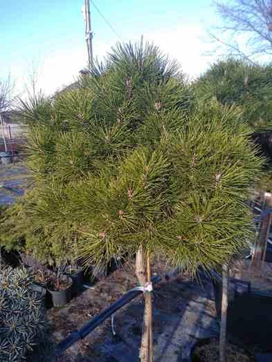 Сосна дензитунберга (Pinus densithunbergii Jane Kluis)