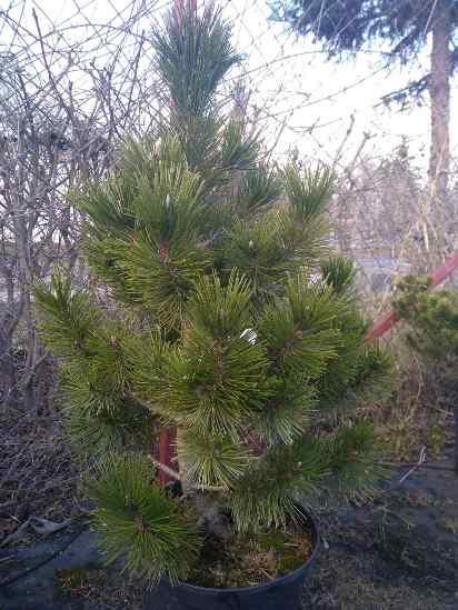 Сосна белокорая (Pinus leucodermis) Dolce Dorme сосна, хвоя зеленая, длинная хвоя