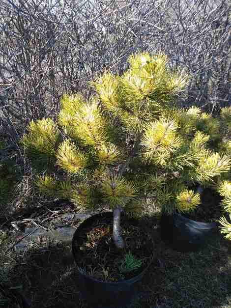 Сосна горная Саншайн (Pinus mugo Sunshine) желто-зеленая хвоя, сосна горная, полушаровидная крона