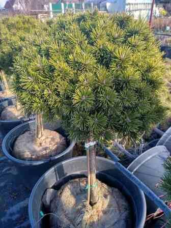 Сосна горная Литомисл (Pinus mugo Litomysl) карликовое, привито на штамбе, шаровидная крона