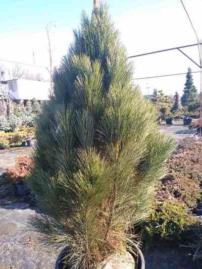 Сосна черная Грин Рокет (Pinus nigra Green Rocket)