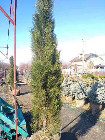 Сосна черная Молетте (Pinus nigra Molette)