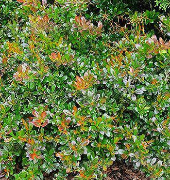 Барбарис средний Park Jewel Нетребовательные садовые растения