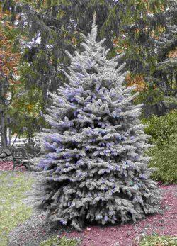Ель колючая Блю Даймонд (Picea pungens Blue Diamond)