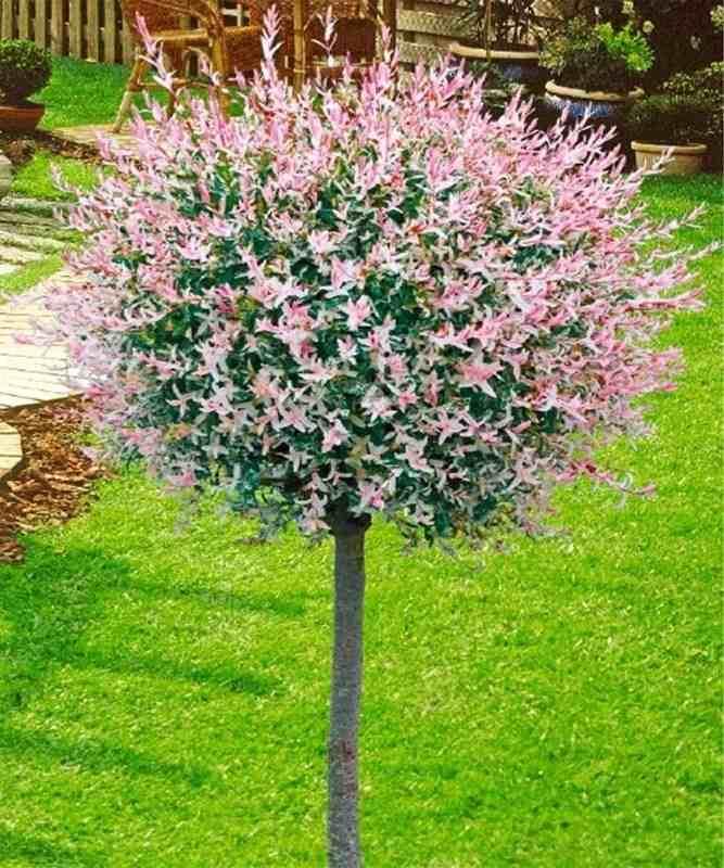 Ива цельнолистная Хакуро-Нишики (Salix integra Hakuro-nishiki) декоративное дерево