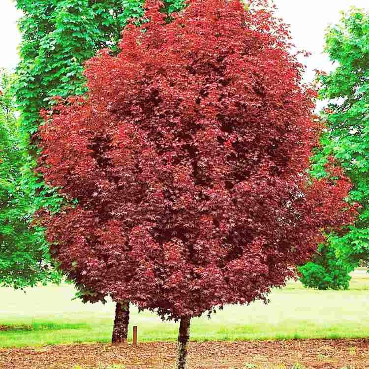 Клен остролистный Кримсон Сентри (Acer platanoides Crimson Sentry)
