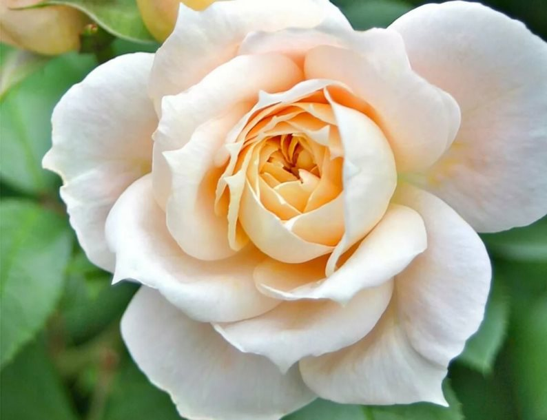 Роза Лионс Роуз (LIONS ROSE)