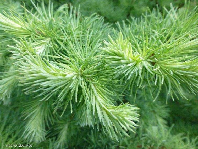 Лиственница Blue Sparkle лиственница, хвойные деревья, сине-зеленая хвоя