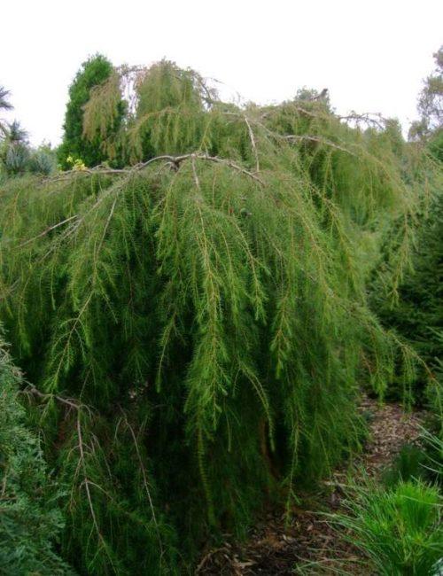 Можжевельник обыкновенный Облонга Пендула ниспадающая крона, хвойный кустарник, хвоя зеленая
