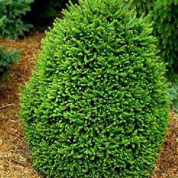 Ель обыкновенная Олендорффи  (Picea abies Ohlendorffi)