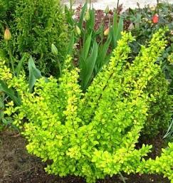 Барбарис тунберга Поувов (Powwow) Нетребовательные садовые растения