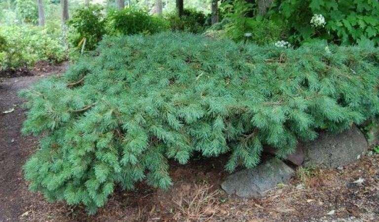 Сосна обыкновенная Хилсайд Крипер (Pinus sylvestris Hilside Crepper)
