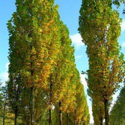 Аллейные деревья