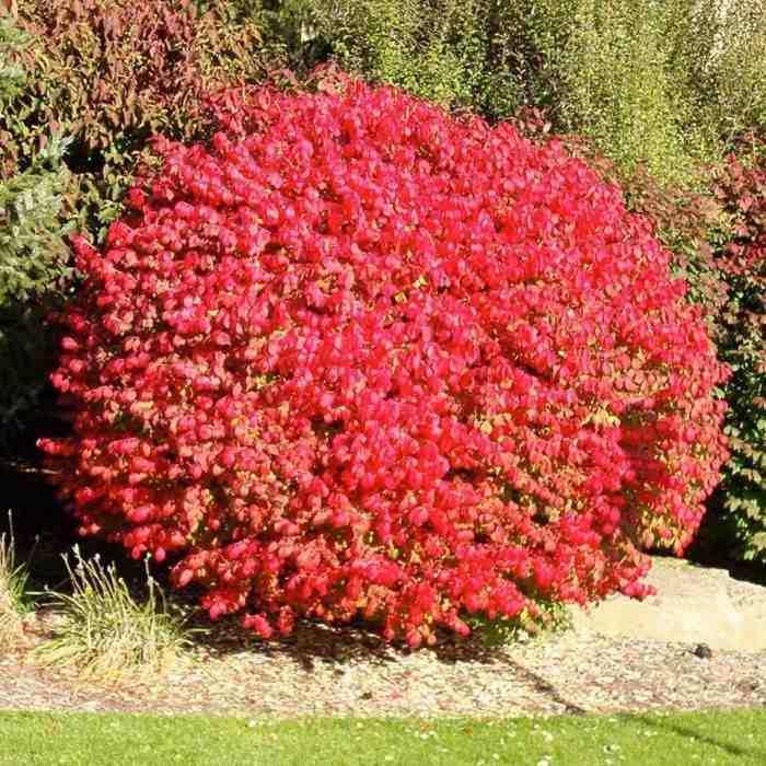 Барбарис Тунберга Файер Болл (Fire Ball) Карликовые растения, Нетребовательные садовые растения