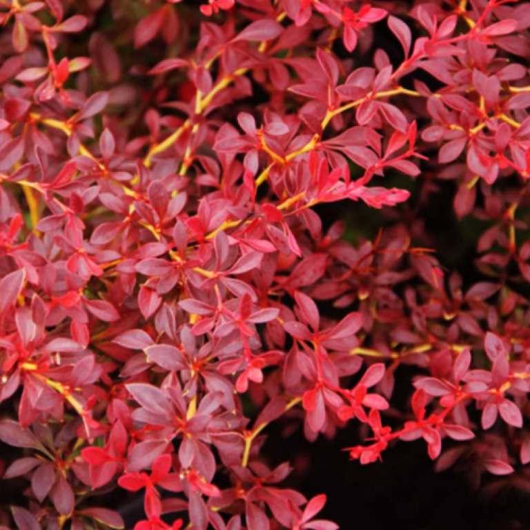 Berberis thunbergii (барбарис Тунберга) Red Dream нетребовательны, барбарис, для городского озеленения
