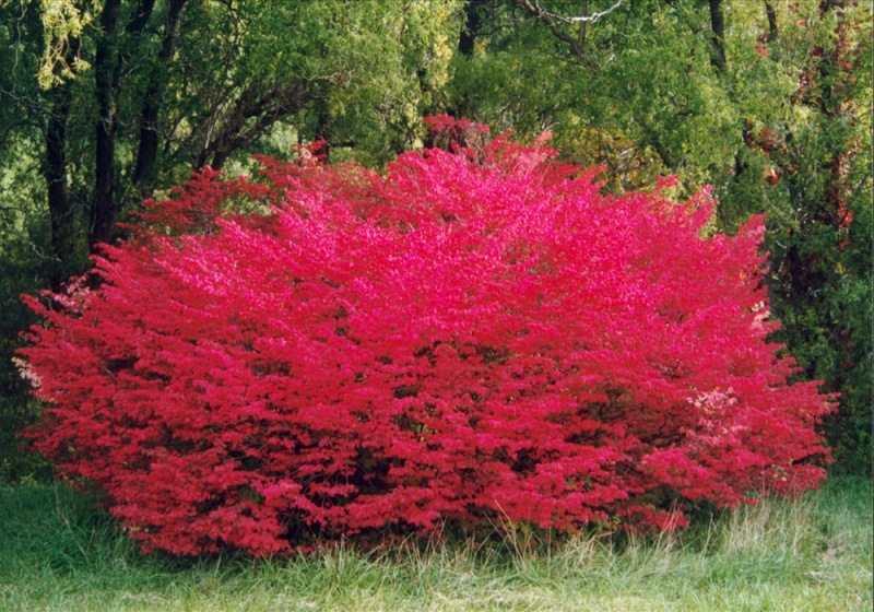 Бересклет крылатый Компактус (Euonymus fortunei Allatus Compactus) декоративный кустарник, быстрорастущие растения, живая изгородь, нетребовательны, для городского озеленения