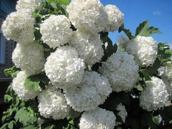 Калина Бульдонеж (Boule de Neige) Красивоцветущие растения, декоративный кустарник