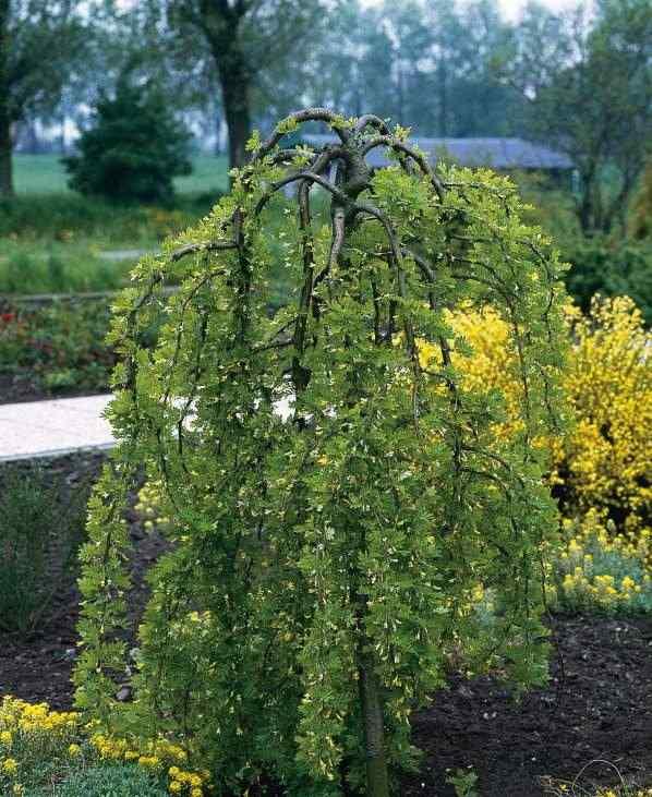 Карагана древовидная (Caragana arborescens Pendula) привито на штамбе, декоративное дерево, аллейное дерево, для городского озеленения