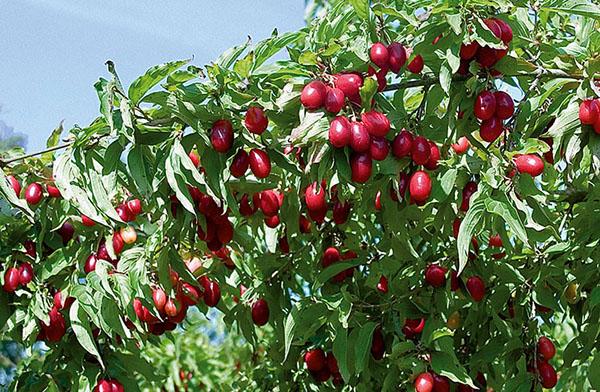 Кизил Лукьяновский ягодные кустарники