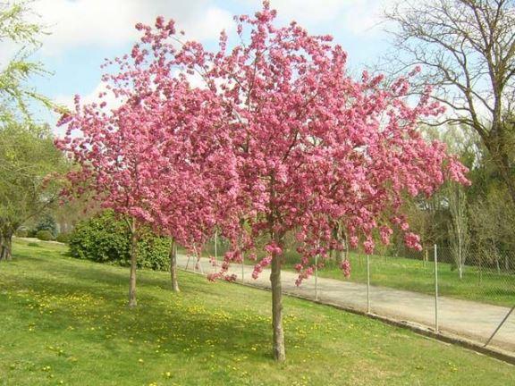 Яблоня обильноцветущая (Malus Floribonda) Красивоцветущие растения, декоративное дерево