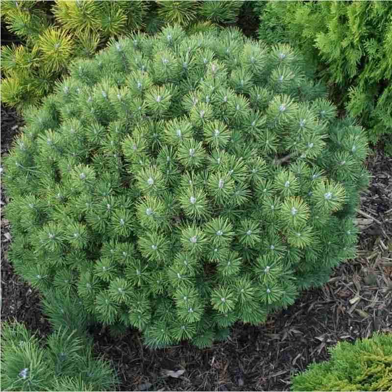 Сосна горная Мопс (Pinus mugo Mops) карликовое, медленнорастущие растения, шаровидная крона
