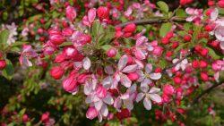 Яблоня декоративная (Malus Floribonda Stemm)