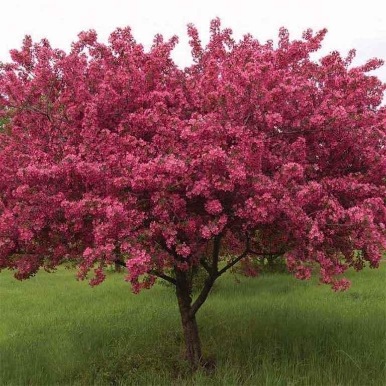 Яблоня Ола (Malus Ola)