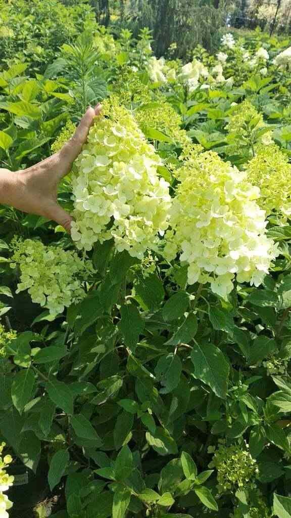 Гортензия  метельчатая Кэндлайт (Candlelight) Красивоцветущие растения, декоративный кустарник, гортензия