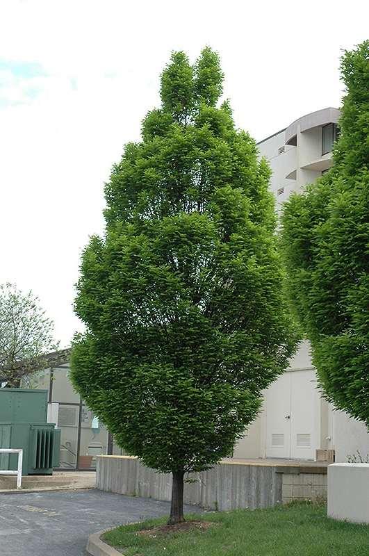Граб обыкновенный Франс Фонтейн (Carpinus betulus Frans Fontaine ) аллейное дерево, для городского озеленения