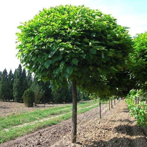 Катальпа бигнониевидная Нана (Catalpa bignonioides Nana) декоративное дерево, аллейное дерево, для городского озеленения